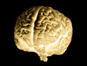 organe cerveau
